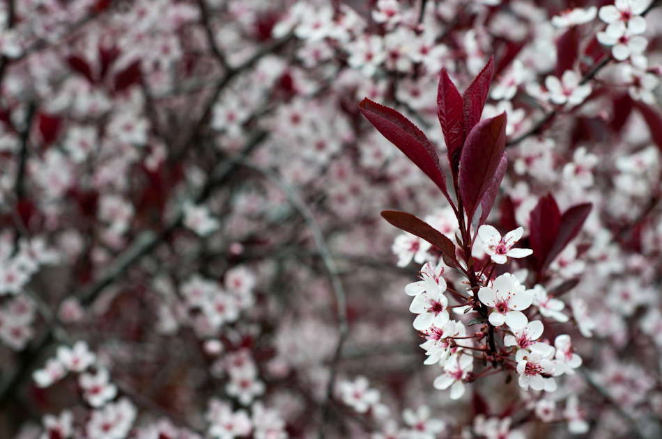 The Purple Sandcherry in our front yard. I love watching this bloom every spring.